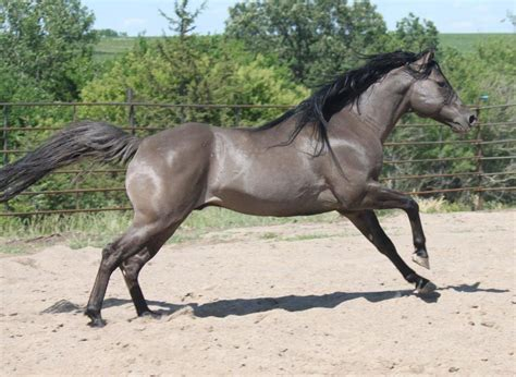 horses horse grullo grulla quarter reining stallion smoky whizard sweet berry pretty bloodline sire dun impressive gray very strong american