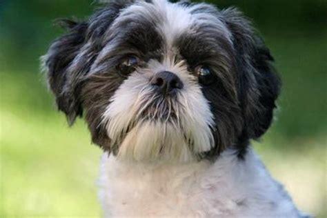 oreo  shih tzu dogs daily puppy
