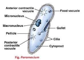 Paramecium Structure Labeled