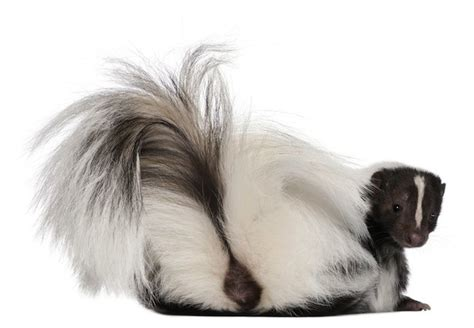 get rid of skunk smell how to get rid of skunk smell