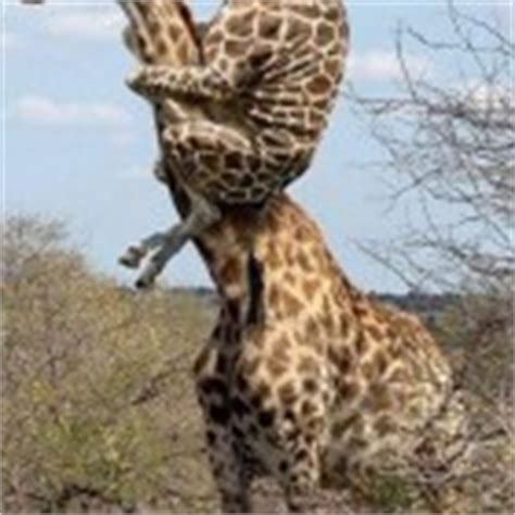 Giraffe Spider Meme - this fuzzy little kitty just saw a ghost laugh roulette