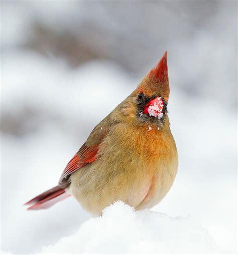 red    cardinal bird feeders  bird watching hq