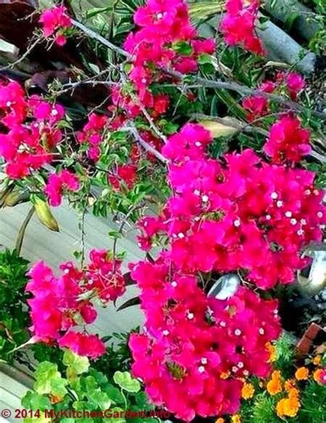 how to grow and care bougainvillea in pots