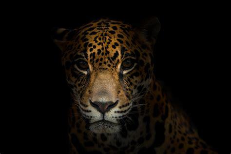 Baby Jaguar Information