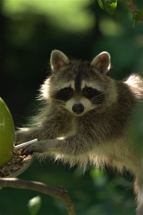raccoon eating out of my bird feeder animals nature