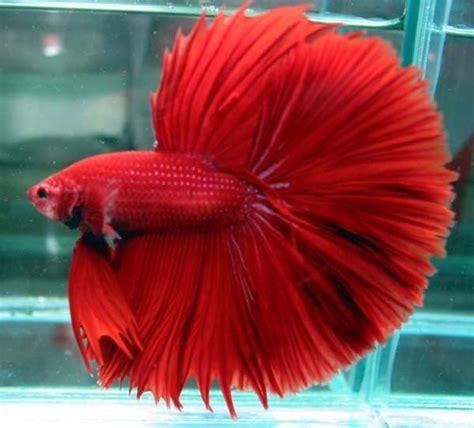 dewa ikan budidaya ikan cupang hias