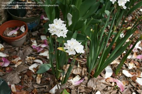 plantfiles pictures tazetta narcissus paperwhite