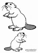 Beavers Coloring Pages Beaver Teeth Creative Printcolorfun Animals sketch template