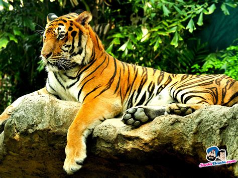 3d Animated Tiger Wallpapers - animated tiger wallpaper wallpapersafari