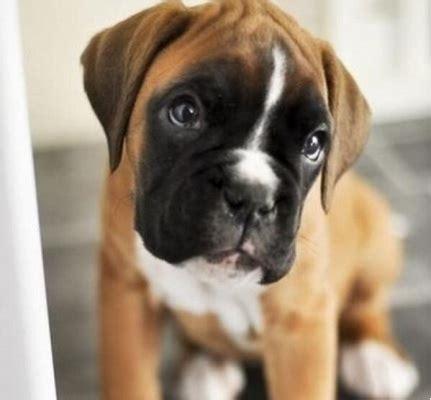olhar de coitadinho  seu cachorro faz  de proposito