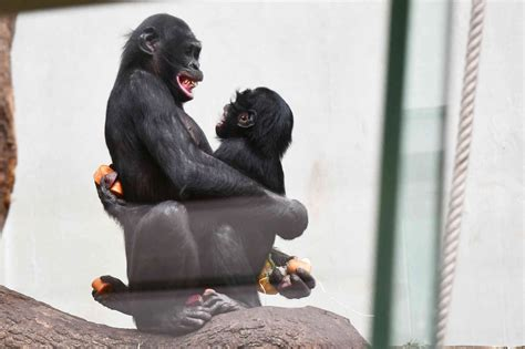 Bonobo Bili im Zoo Wuppertal: Es sieht nach einem Happy ...