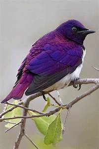 Violet-Backed Starling Cute Animals Pinterest