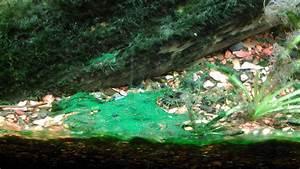 aquarium algae   Dragonfly Imaginings