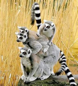 Animals, Funny ... Cute Lemur Quotes