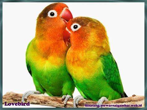 gambar mewarnai burung lovebird ala model