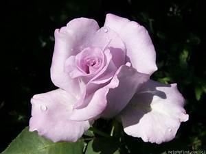 Mainzer Fastnacht Rose : bl m ndag blue monday mainzer fastnacht mainzer rad navo rose sissi sissy ~ Orissabook.com Haus und Dekorationen
