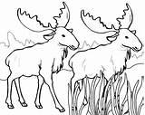 Coloring Moose Elk Drawing Bull Antlers Getdrawings Printable Cool2bkids sketch template