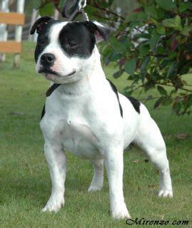 jahvestaffs josva jared staffordshire bull terrier