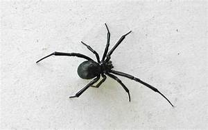 Black Widow Spiders - venomous spider - DesertUSA