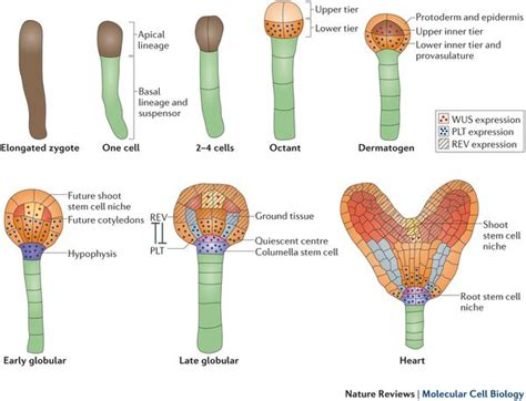 embryonic origin  plant stem cell niches plant