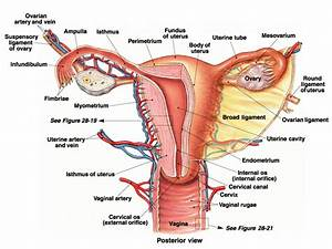 Functions Of Female Reproductive System - Human Body ...