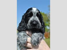Cocker Spaniel Puppies Blue Roan | auto-kfz info