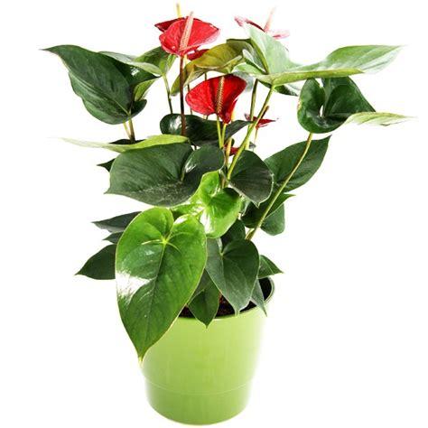 zimmerpflanze mit roten blüten zimmerpflanze anthurie zimmerpflanzen blumenversand bluvesa de blumen verschicken