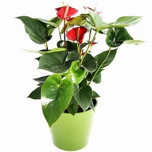 Zimmerpflanze Mit Roten Blättern : zimmerpflanze anthurie zimmerpflanzen blumenversand blumen online verschicken ~ Eleganceandgraceweddings.com Haus und Dekorationen