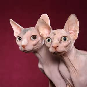 no hair cat sphynx cats enjoying recognition as pets daily