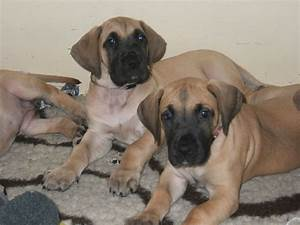 KC Registered Fawn Great Dane Puppies | Brighton, East ...
