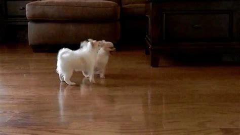 Y Tiny Cute Chihuahua Babies Pocket Puppies Houston Texas You