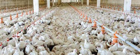 chicken farm chicken factory farm www pixshark com images galleries
