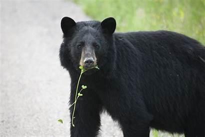 Bear Yukon American Bears Killing Eating Bag