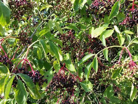 schwarzer holunder kaufen schwarzer holunder fliederbeere sambucus nigra g 252 nstig