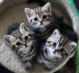 how much is a cat how much does a shorthair kitten cost many