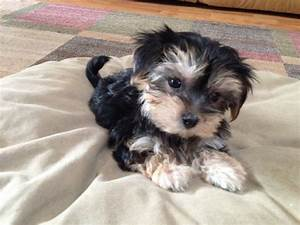 Beautiful Morkie or Maltese Yorkie mix pups for sale in ...