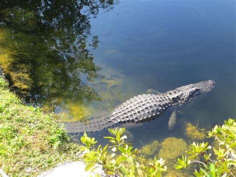 Everglades Boat Tours Near Fort Myers by Air Boat Ride Picture Of Everglades Adventure Fort