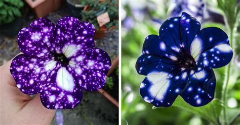 Cool Product Alert The Petunia Sky Plant by These Quot Galaxy Quot Flowers Grow Entire Universes On Their