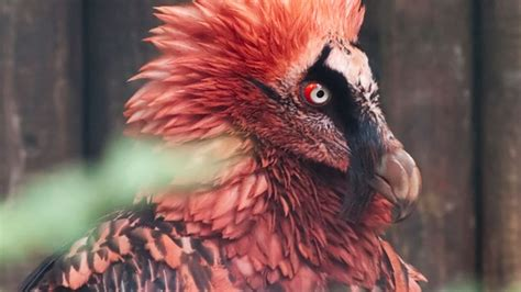 facts   bone eating bearded vulture mental floss