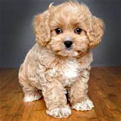 Cavapoos Do They Shed by The Cavapoo Cavalier King Charles Spaniel X Poodle