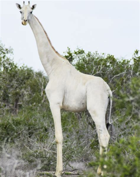 Rare White Giraffes Caught On Camera For First Time In