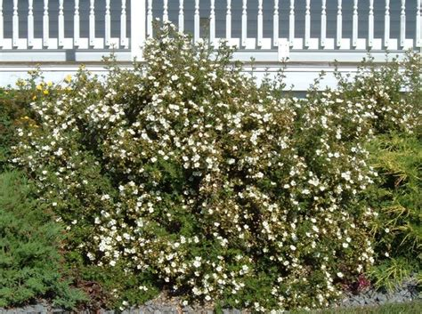 low height shrubs abbotswood potentilla is a low growing compacted mound shrub with height and spread of 3 making