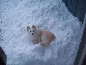 1000+ images about American Eskimo Dog on Pinterest ...