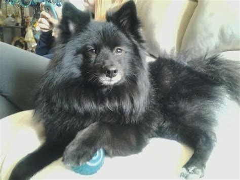 pom kee dog breed information  pictures