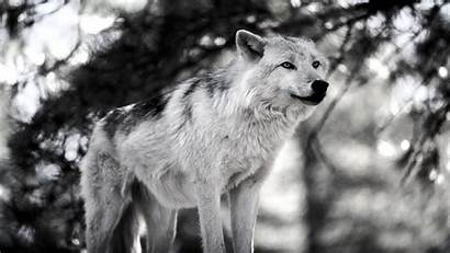 Wolves Wolf Snow Gray Desktop Wallpapers Animals