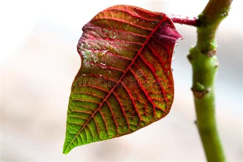 poinsettia leaf stock image image  flower floral