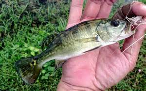 Baby Peacock Bass Fish