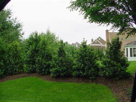 landscape screening trees screening plants ramblin through dave s garden
