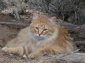 ADOPTED - Orange Tabby Female Maine Coon Mix Cat in Emery ...