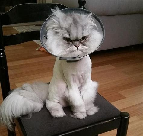 cat cone really grumpy cat in cone lol blogs forums